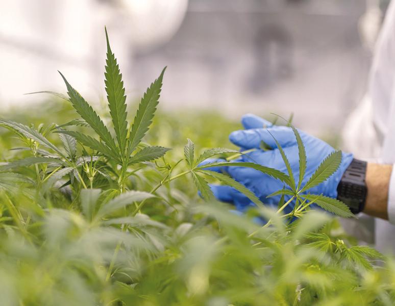 Monitoraggio in tempo reale utilizzato per la cannabis